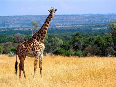 Jerapah Giraffa camelopardalis - berbagaireviews.com