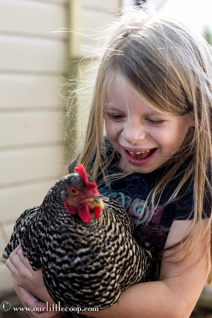 Ameraucana, Chicken, backyard, urban, farm, poultry, Eggs, Chickens, Americana chicken, chicks, kids, best, children, pets
