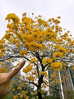 親子好去處可選擇到南昌公園賞黃鐘花。