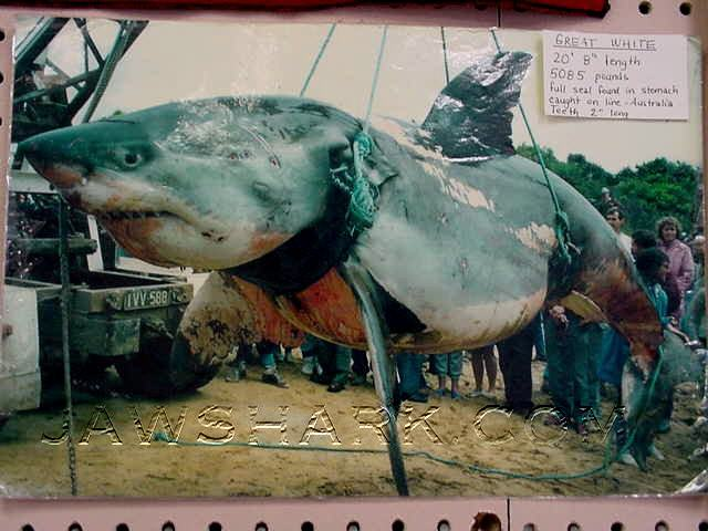 Funny Pictures Gallery  World Record Tiger Shark  Tiger
