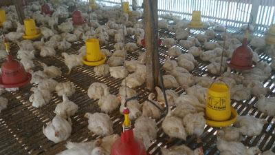 Menjual Ayam Broiler atau Ayam Potong di Lampung