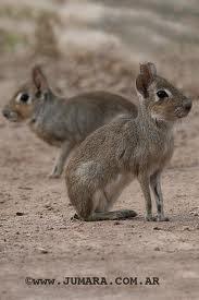 Conejo del palo Pediolagus salinicola