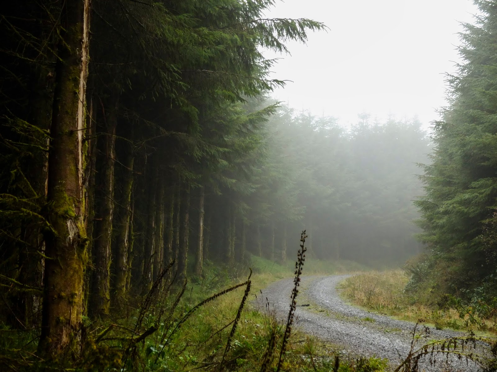 A misty and foggy curving gravel path lined with conifers.