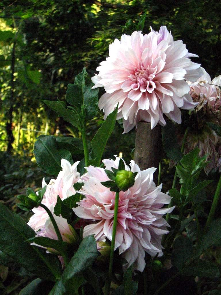 L 39 orto dei colori dalie giganti ma non troppo - Dalia pianta ...