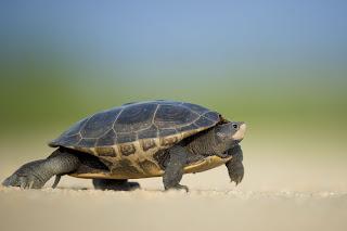 the-turtle-walk,chennai-tutle