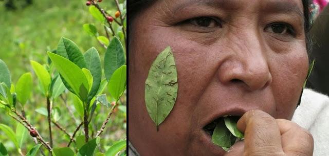 Peru Coca yaprağı