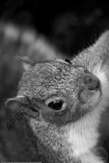Grey squirrel taking a selfie close up picture