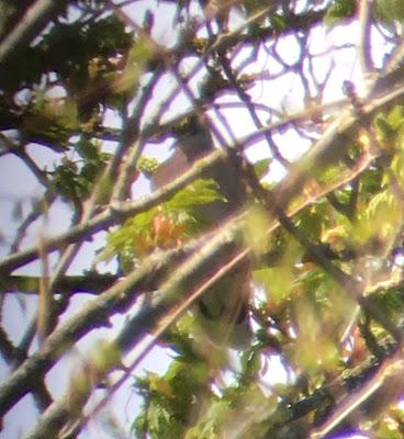 Oriental Turtle Dove (Meena) - Kent
