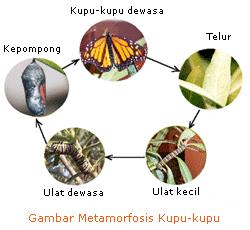 Asa Generasiku Daur Hidup Hewan Metamorfosis Sempurna Dan Metamorfosis Tidak Sempurna