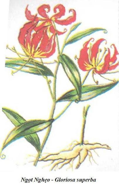 Hình vẽ màu Ngọt Nghẻo (Ngọt Nghẹo) - Gloriosa superba - Nguyên liệu làm thuốc Có Chất Độc