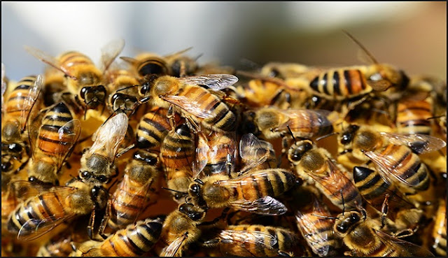 Perilaku Lebah Hendaknya jadi Inspirasi bagi Setiap Insan