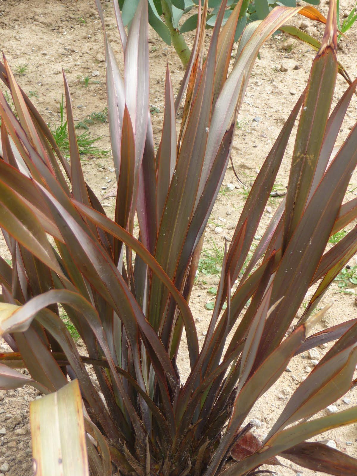 Ma terre de bruy re pourpre purpurea ou purple - Plante longue feuille pointue ...