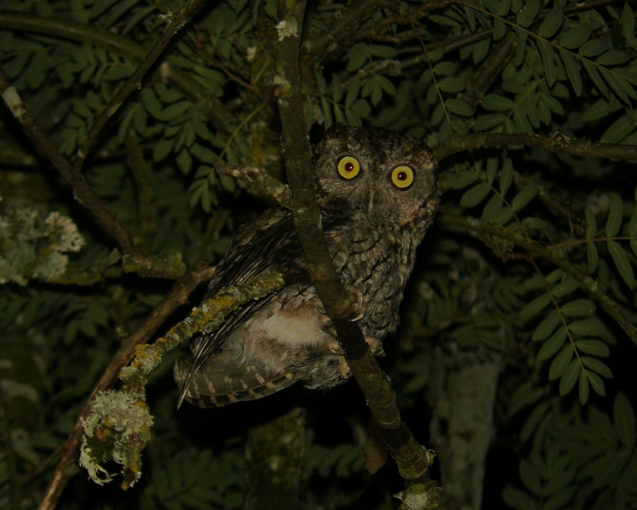Barred Owl in Portland Oregon   Thanks to the crows that ...  Owls Portland Oregon