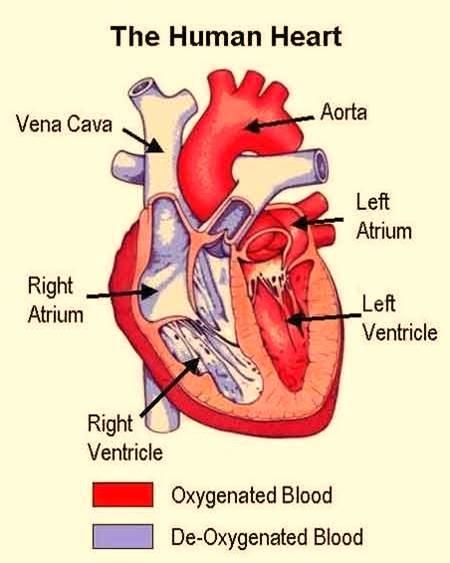 Days at NY: Circulatory System