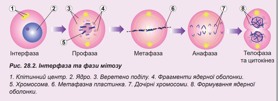 Картинки по запросу телофаза мітозу