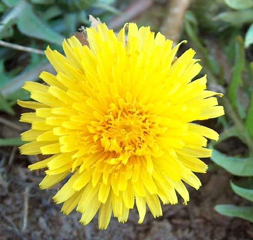 maskros-03-05-07.jpg
