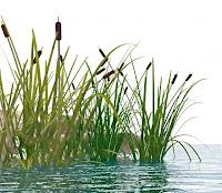 Bir sazlıktaki saz bitkileri