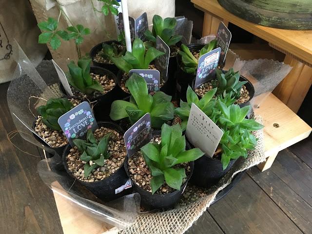 見た目に涼しい観葉植物や多肉植物はいかがですか?