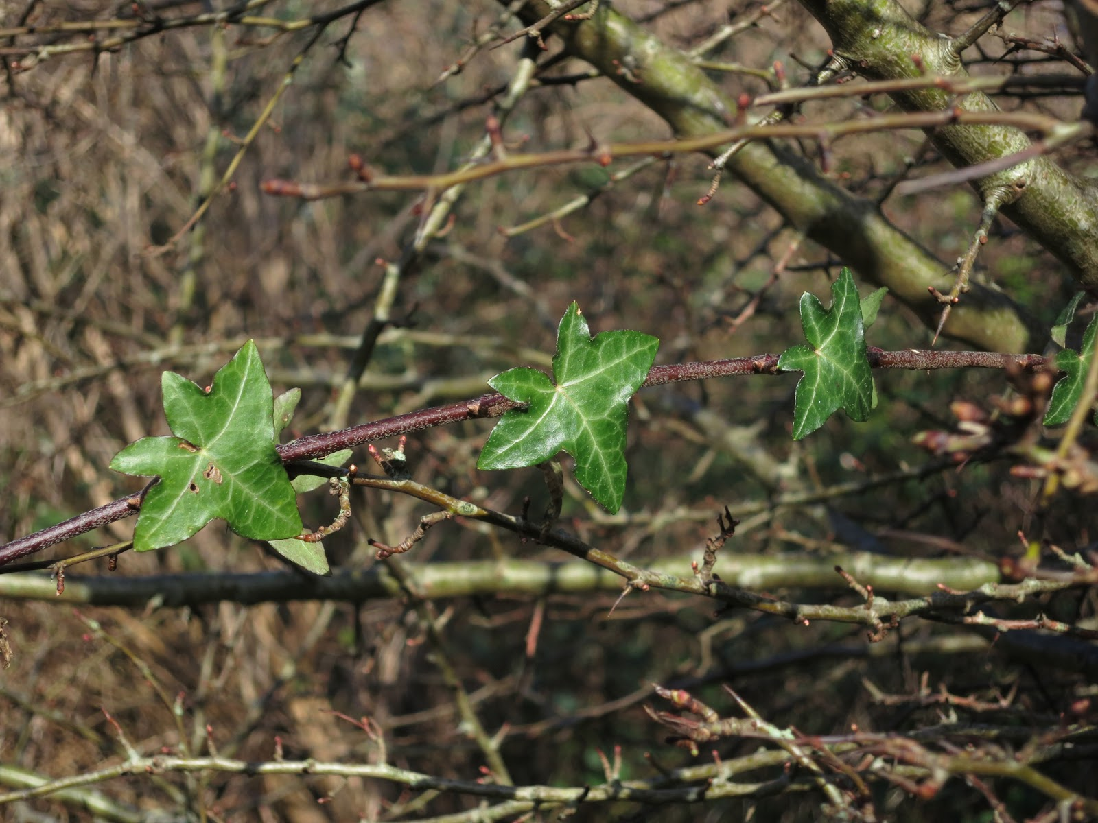 Three ivy leaves on a hawthorn tree