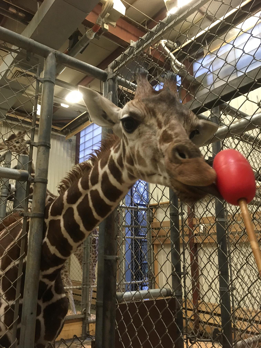 Inside The Barn Lulu Touches Her Nose And Tongue To A Target As Part Of Training Photo Katie Ahl Woodland Park Zoo