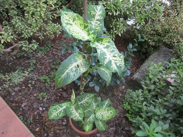 Pianta Dieffenbachia amoena