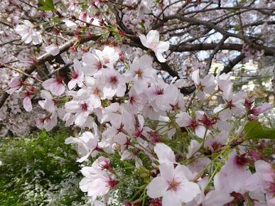 寝屋川公園 エントランスの桜