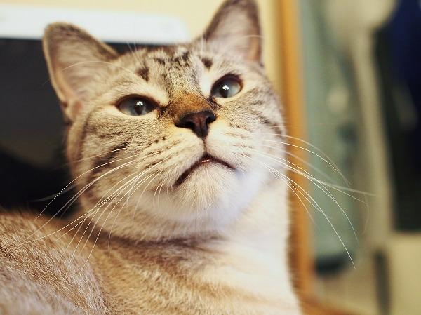 シャムトラ猫の顔アップ