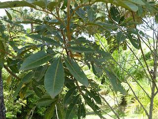 Bois de Judas - Cossinia pinnata - Faux bois de fer