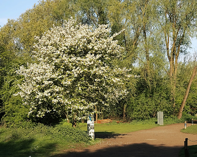 Tree laden with white blossom