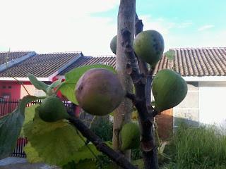 bibit pohon tin Bogor