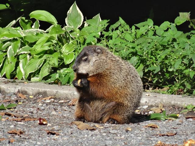 Murmeltier Groundhog