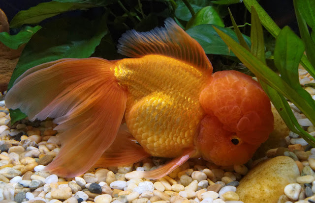 Tips Mencerahkan Warna Ikan Mas Koki
