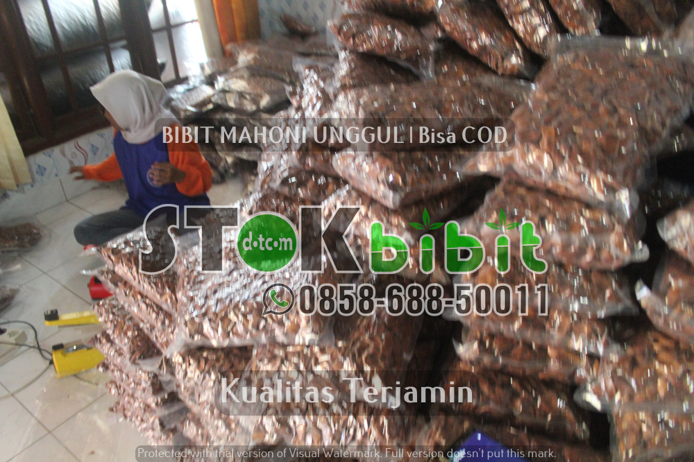 Bibit Mangga Chokanan Berkualitas Unggul       Unggul     berkualitas