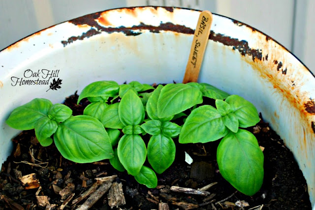 Basil seedlings