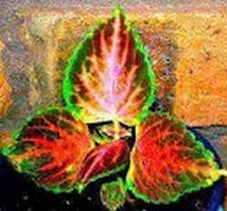 Coleus grown from seed