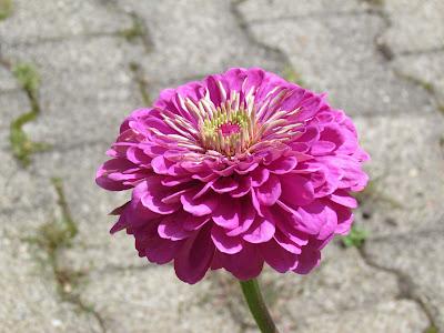 flower-lavander-flora-niceflowers