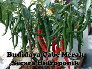 Tips Budidaya Cabe Merah Secara Hidroponik