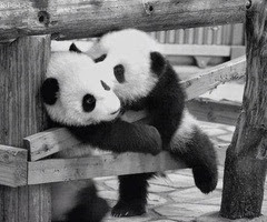 Dos pandas bebés jugando en blanco y negro