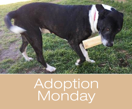 Adoption Monday: Hercules, Catahoula Leopard Dog, Killeen, TX