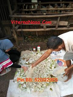 Cara pembuatan fermentasi pakan kambing dengan menggunakan gedebog pisang, bekatul, tangguh probiotik dan viterna