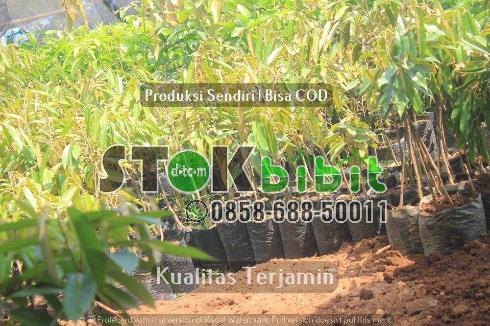 Pengiriman bibit durian |bibit apel | bibit delima dll bibit ke luar jawa    terjamin     berkualitas