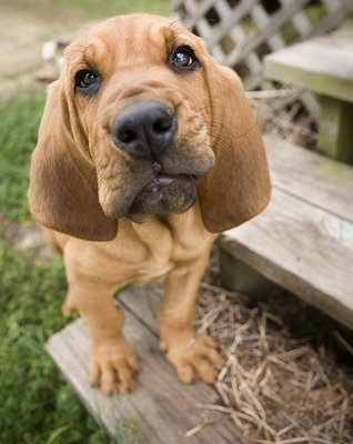 Training Your Bloodhound To Listen You