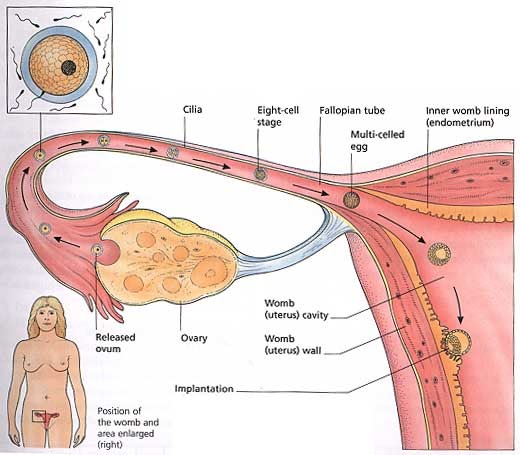 PREGNANT: Ectopic Pregnancy