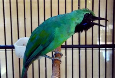 Pelatihan mental burung cucak ijo memang sangat penting dilakukan Tips Melatih Mental Burung Cucak Ijo