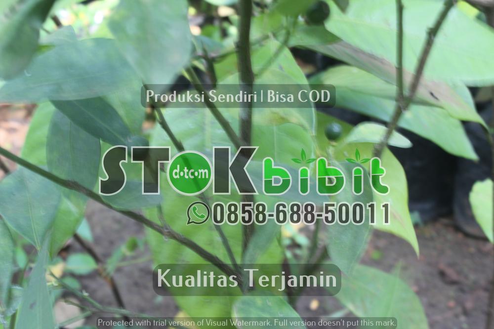 Bibit Albasia Bersertifikat | Bibit Sengon Bersertifikat | Albizia falcataria | Falcataria moluccana      Unggul     terjamin