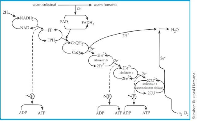 bagan transformasi energi dalam biologi