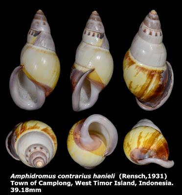 Amphidromus contrarius hanieli 39.18mm