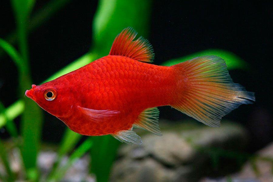 Budidaya Ikan Hias Palty