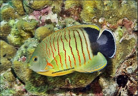 Ikan Hias Air Laut Red Stripe Angelfish