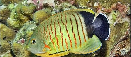 Jenis Ikan Hias Air Laut Red Stripe Angelfish